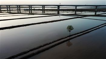 寧夏:黃河兩岸 稻田如畫