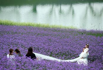 貴州甕安:荒坡變花海 美景引客來