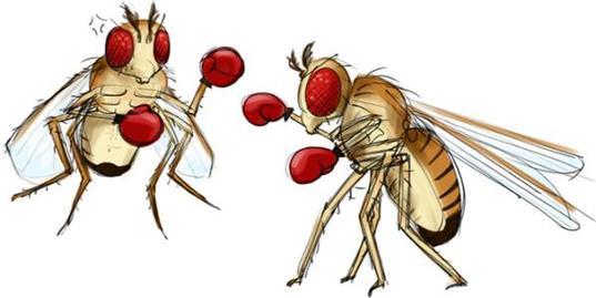 果蝇——从模式生物到行为探索的研究