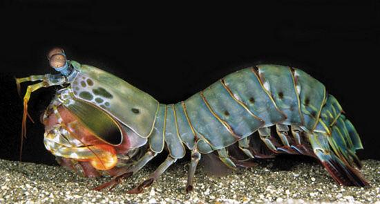 筆尖科學——蝦蛄