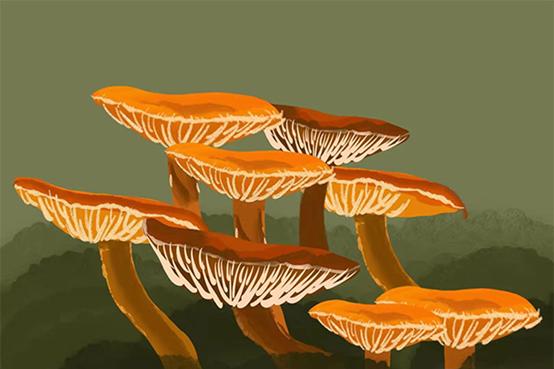 又大又長壽的蜜環菌