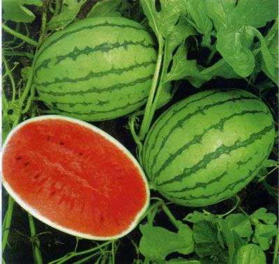 为什么新疆的西瓜特别甜?