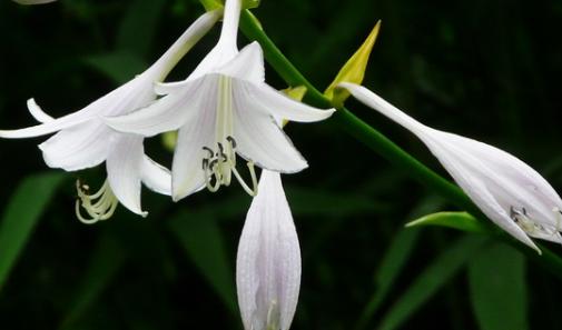 公园随处可见的玉簪花,你了解多少?