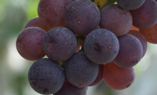 为什么会有无籽葡萄?专家揭秘葡萄无籽的真相
