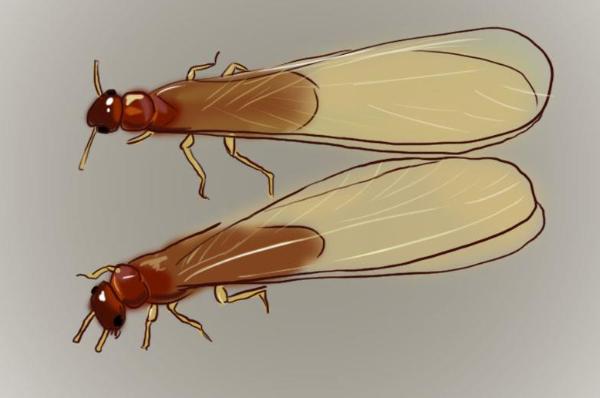 白蚁是蚂蚁?遭遇白蚁危害时如何应对?