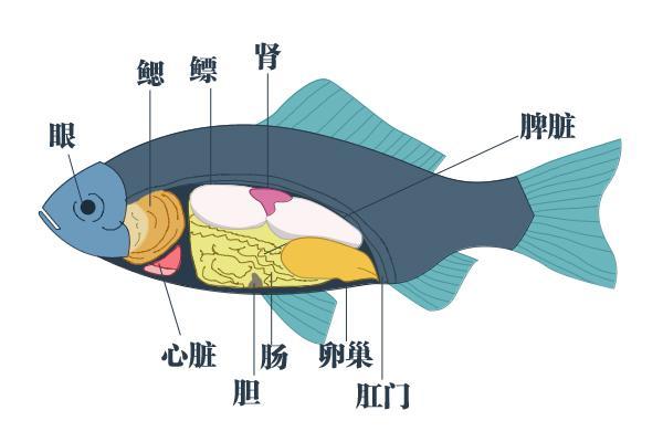 鱼胆不能随意吃