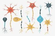 世界最大全腦神經元三維數據庫建成