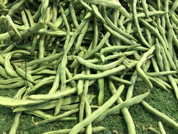 豆类家族——芸豆