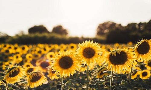 为什么向日葵花总是朝着太阳?