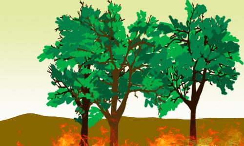 天生能灭火的树——梓柯树