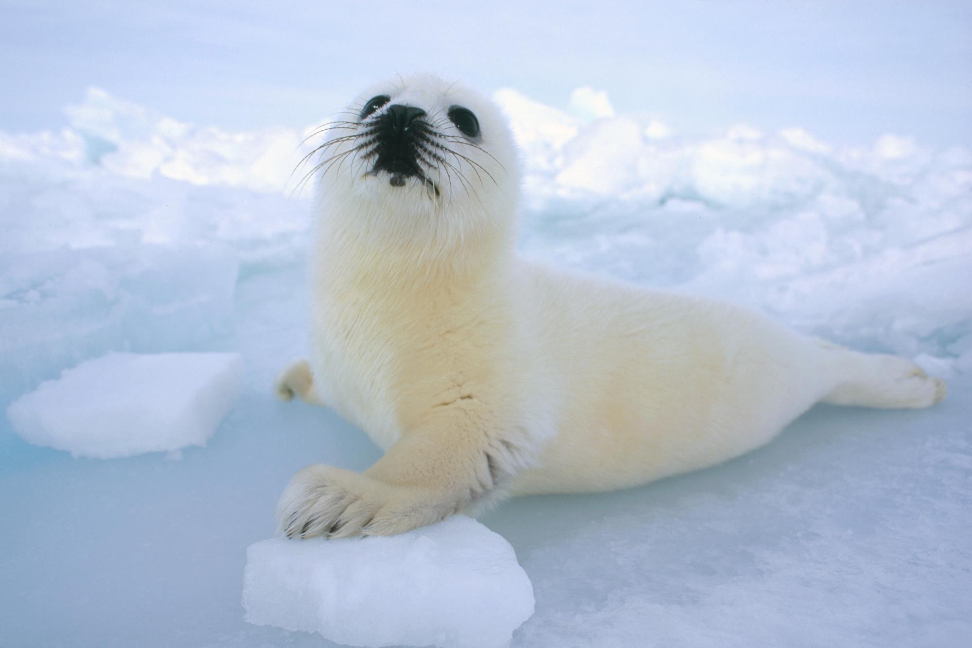 """国际海豹日:""""豹""""可爱的它"""
