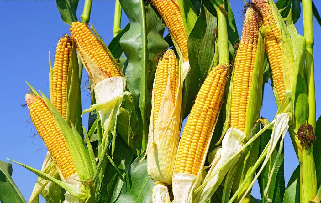 玉米育種快速精準 守住中國糧食安全底線