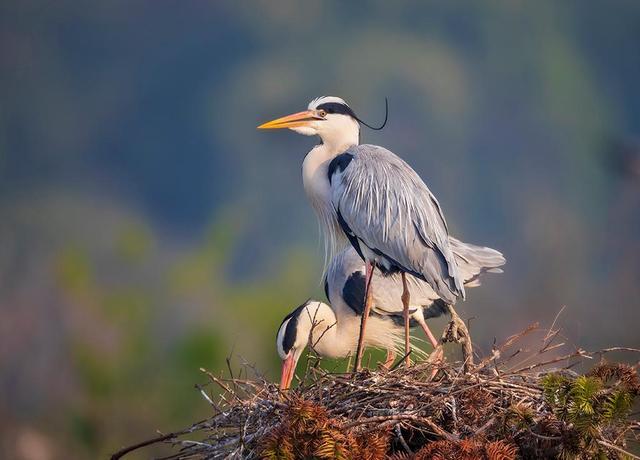 夏灿玮:《鹭世界》以苍鹭为主角 关注野生动物