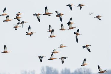 呼和浩特海流水庫迎來遷徙候鳥