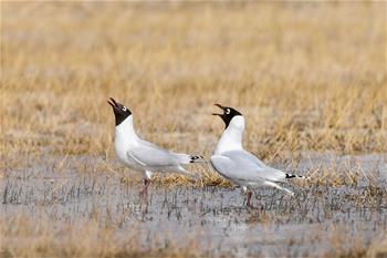 大批遺鷗重返鄂爾多斯濕地