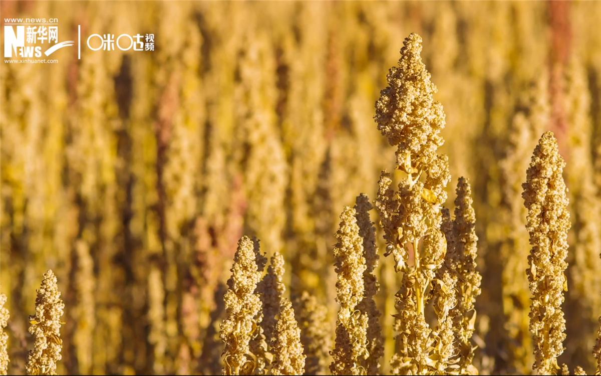 藜麦有极强的环境适应能力和低成本、高回报的种植模式