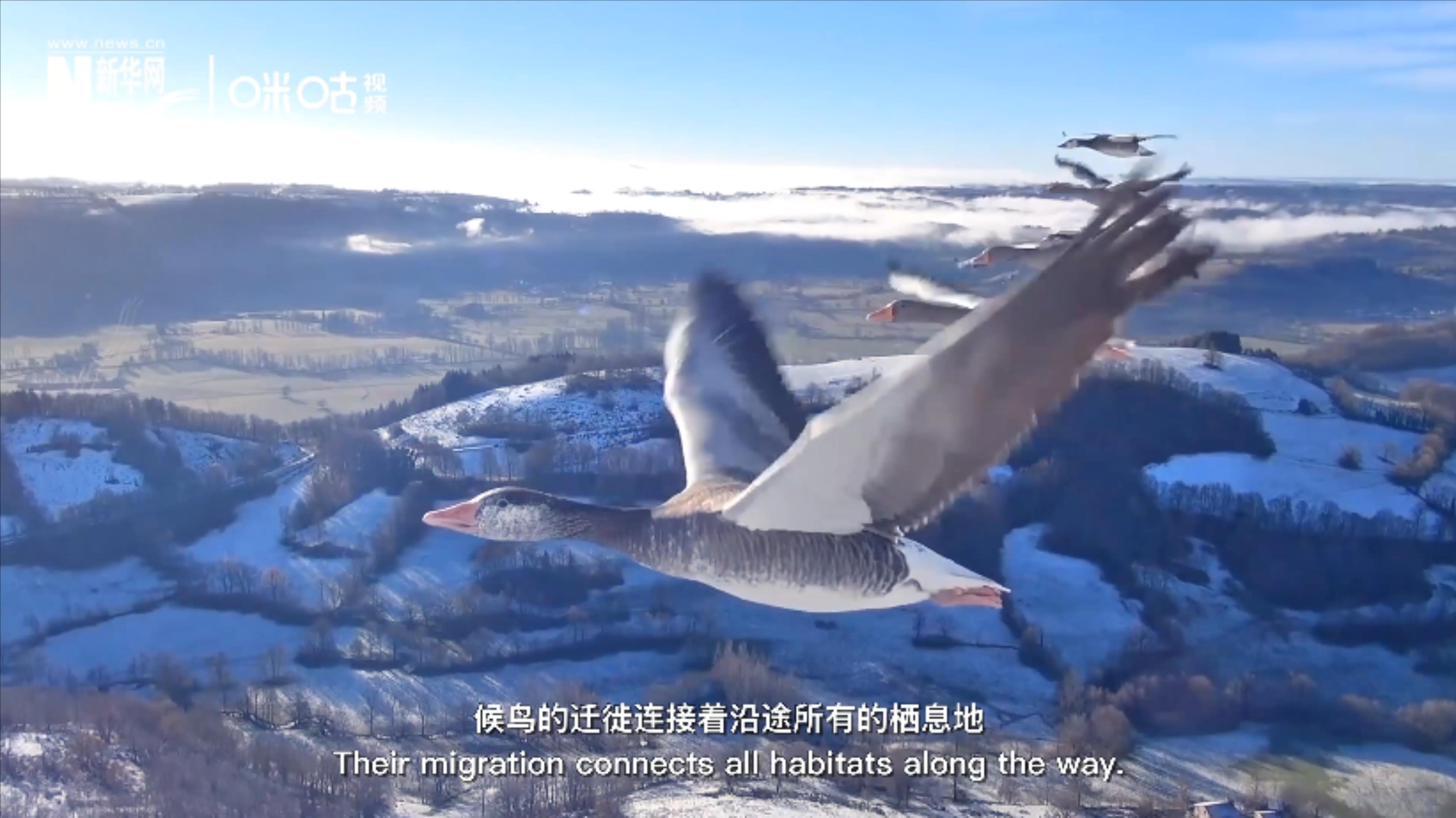 全球大規模鳥類遷徙共有八條跨越國界的路線