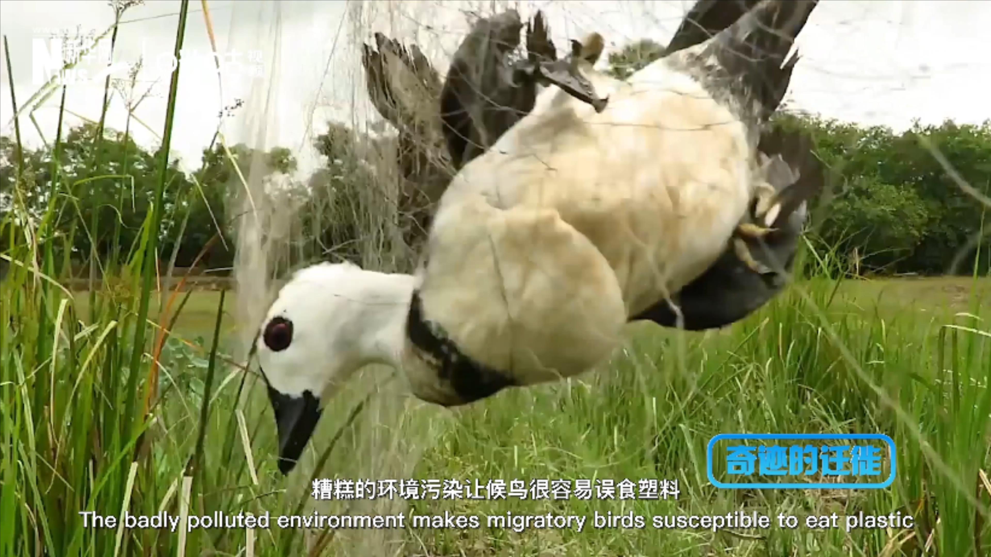 棲息地減少、環境污染、捕殺正威脅著候鳥的生存