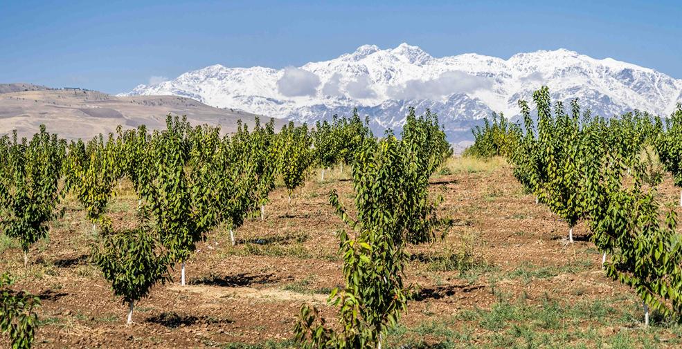 巍峨雪山下有片綠色櫻桃園——中塔探索農業合作新模式