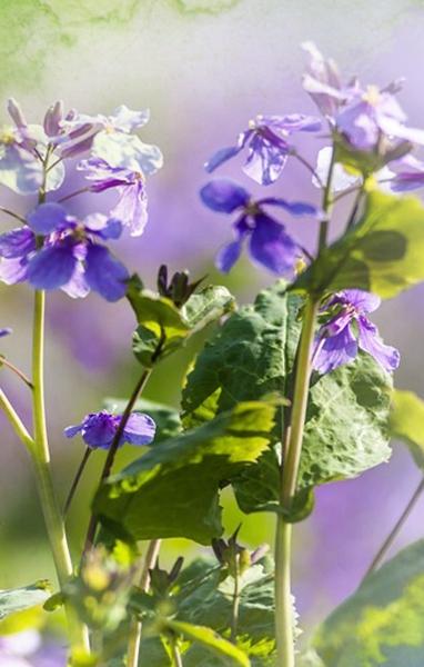 """開在春天裏的""""和平紫"""""""