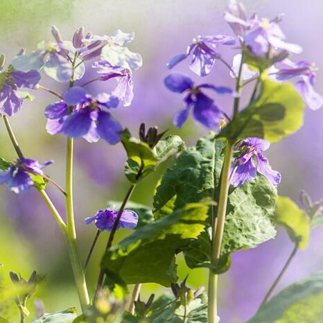 """草熏風暖 最美""""和平紫"""""""