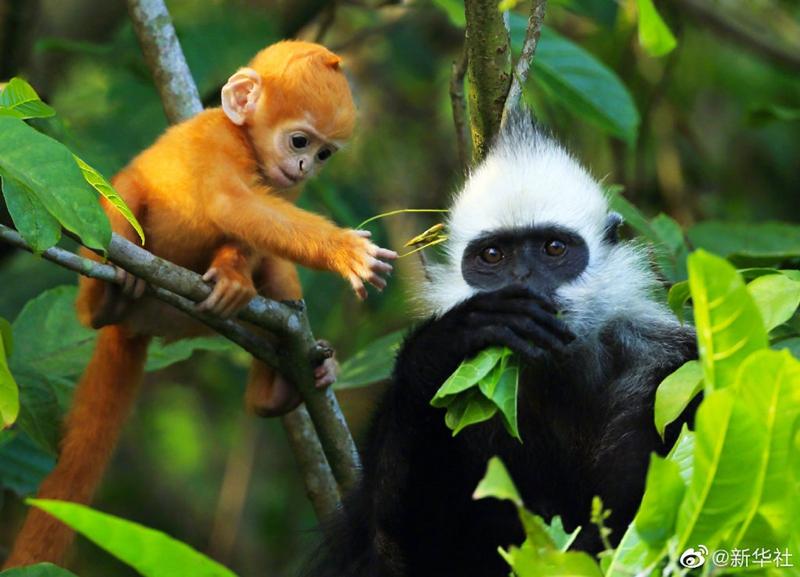 我国首次获得白头叶猴全基因组序列 含有22对染色体