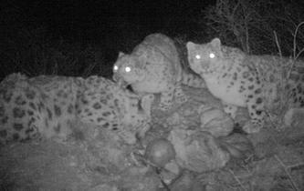 紅外相機記錄雪豹分食畫面