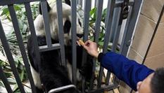 大熊貓的冬日生活