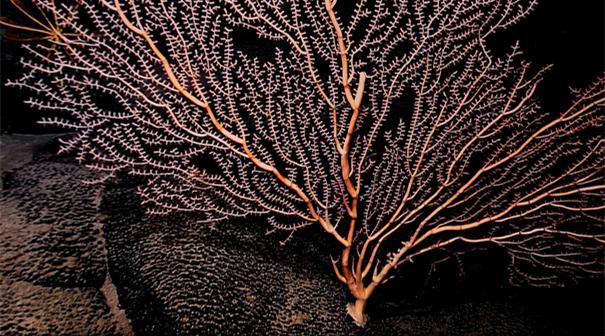 """""""科学""""号在麦哲伦海山发现""""珊瑚林"""""""