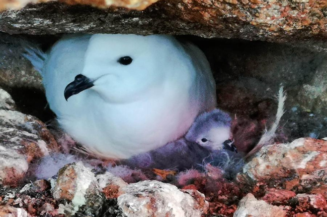 中國首次利用紅外相機自動監測南極雪海燕