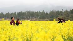 航拍江西吉水千畝油菜花盛開