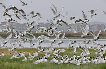 河北:壩上濕地遺鷗舞