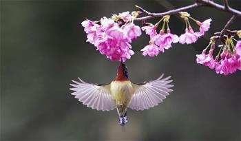 櫻花叢中鳥翻飛