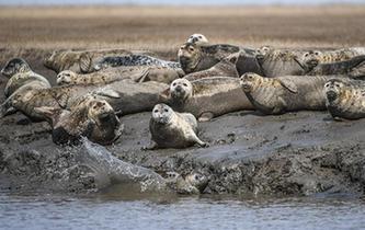 斑海豹洄遊棲息遼河入海口