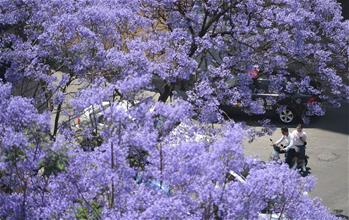 藍花楹綻放春城