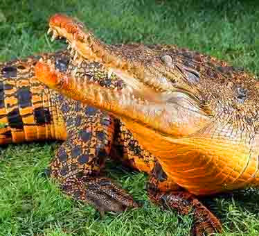 盘点自然界罕见的变异动物:橙色的鳄鱼(组图)