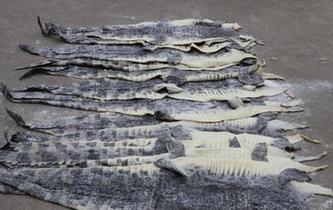 廣西海警查獲1609張涉嫌走私鱷魚皮