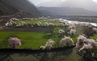 雪域桃花始盛開