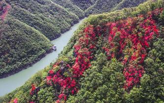 安徽金寨:山野開遍映山紅