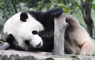 成都大熊貓冬日賣萌
