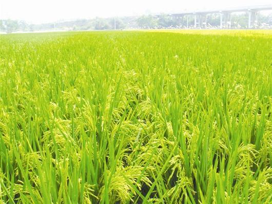南粳9108稻种价格?_南粳9108稻种1斤多少钱_金粳818稻种多少钱一斤