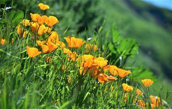 美國加州:野花怒放