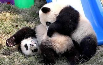 大熊貓龍鳳胎寶寶有了新名字