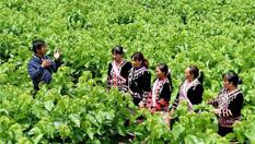 雲南瀾滄:拉祜族山寨舊貌換新顏