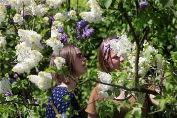 紫丁香花園花盛開