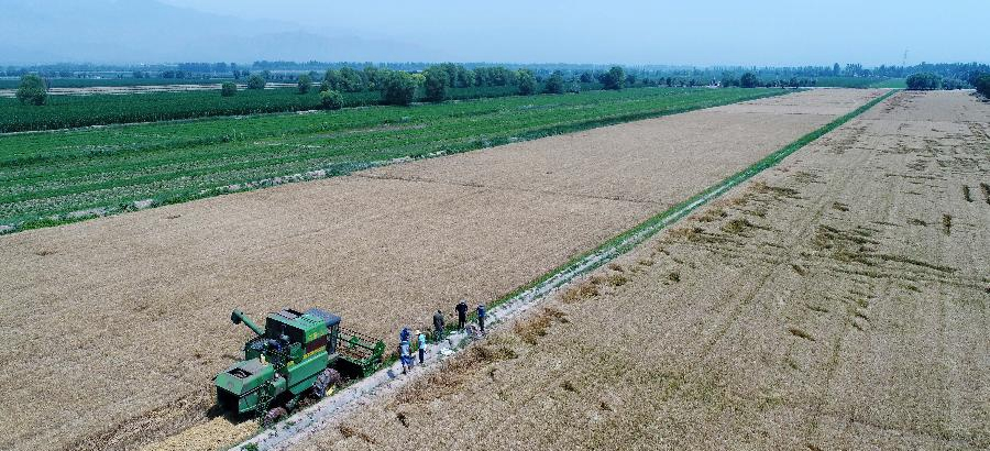 Harvest season for wheat falls at farm in NW China's Ningxia
