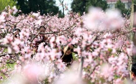江西永修上千畝桃花盛放 遊人徜徉花海