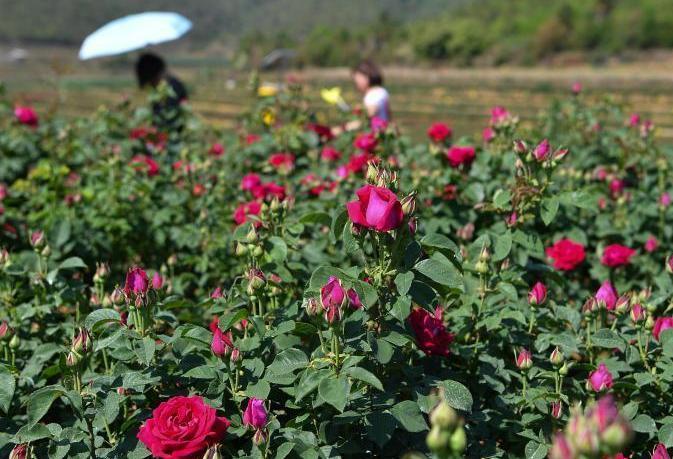 雲南萬畝食用玫瑰進入盛花期 開啟甜蜜芬芳之旅