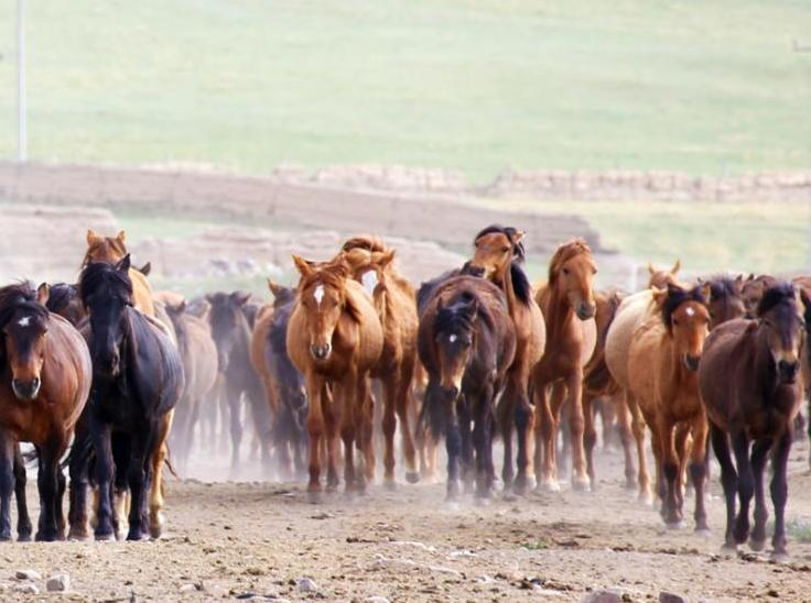 甘肅山丹馬場駿馬奔騰 場面壯觀