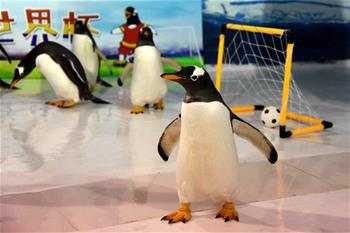 """企鵝也踢""""世界杯"""""""